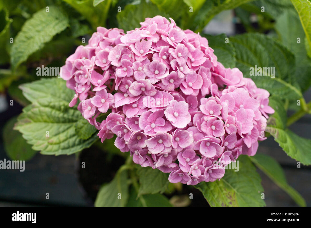 Hydrangea Forever & Ever in August - Stock Image