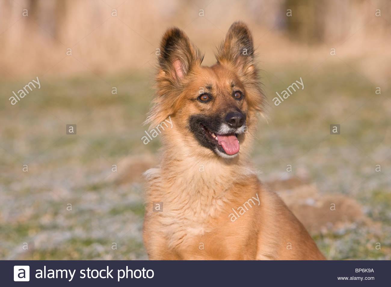 An alert sandy coloured dog - Stock Image