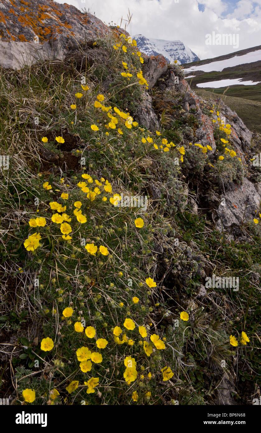 Snow-Cinquefoil, Potentilla nivea growing abundantly at high altitude, Wilcox Pass, Jasper NP, Rockies, Canada - Stock Image