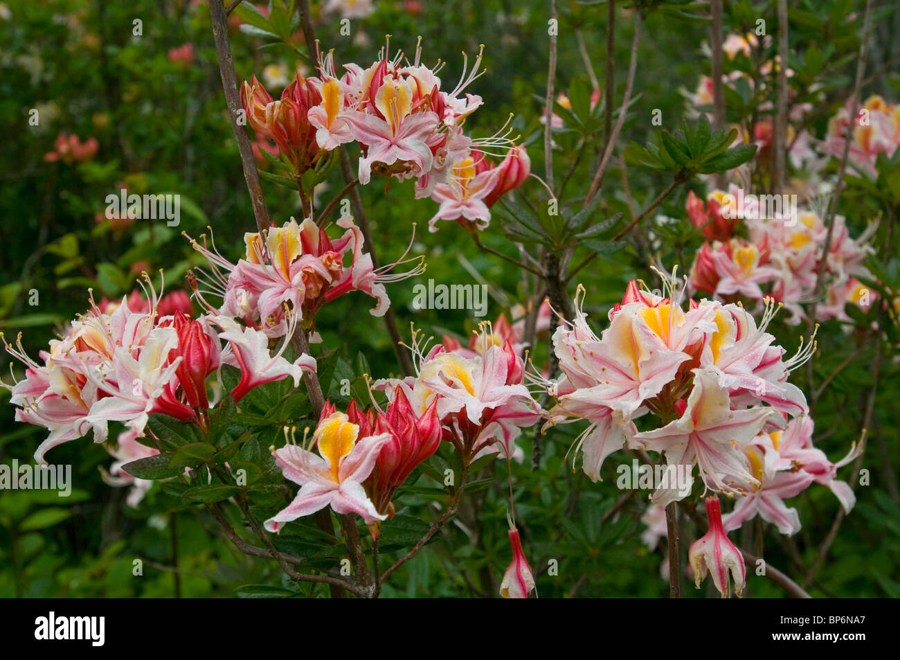 Wild Azalea Flowers In Bloom In Spring At The Azalea State Natural