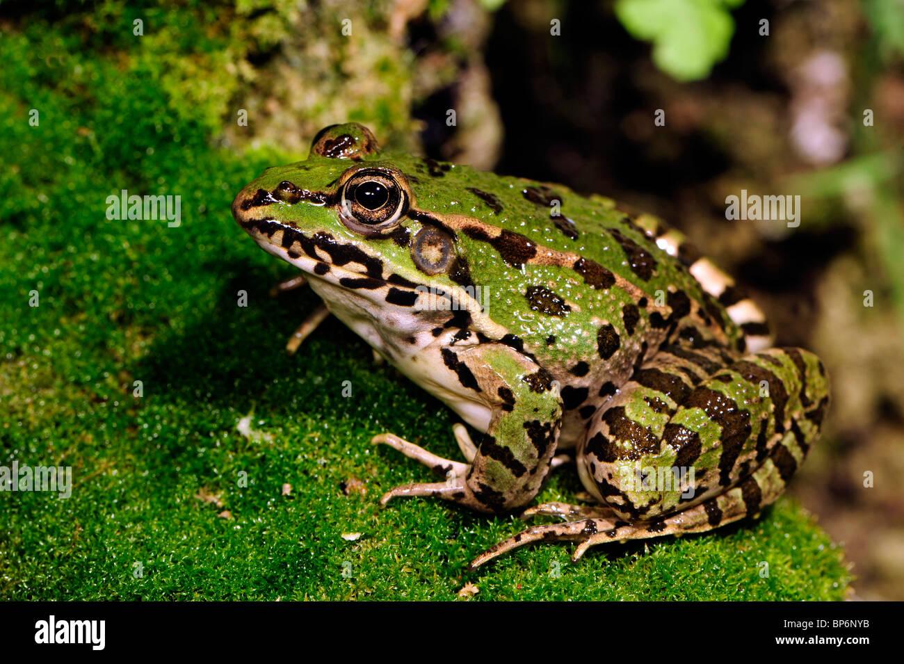 Greek March Frog (Pelophylax kurtmuelleri, Rana kurtmuelleri, Rana balcanica  ), sitting on moss, Greece, Peloponnes Stock Photo