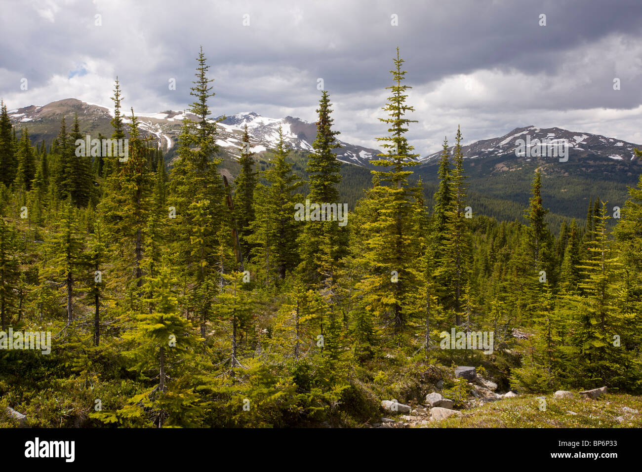 Mixed coniferous forest (spruce, fir and pine) in the Bald Hills above Maligne Lake, Jasper National Park, Rockies, - Stock Image