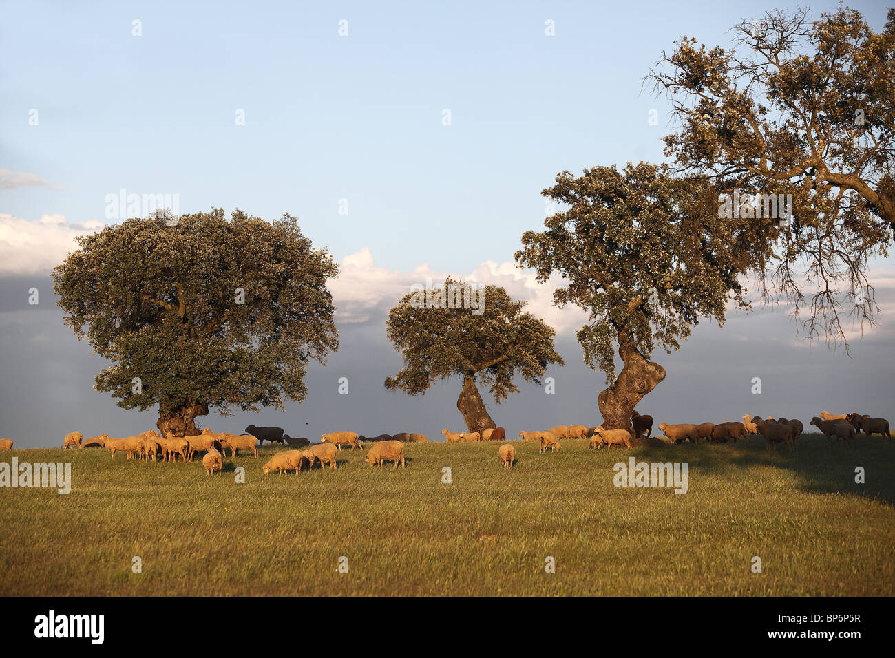 Dehesa, a wooded pastureland, with grazing domestic sheep. - Stock Image