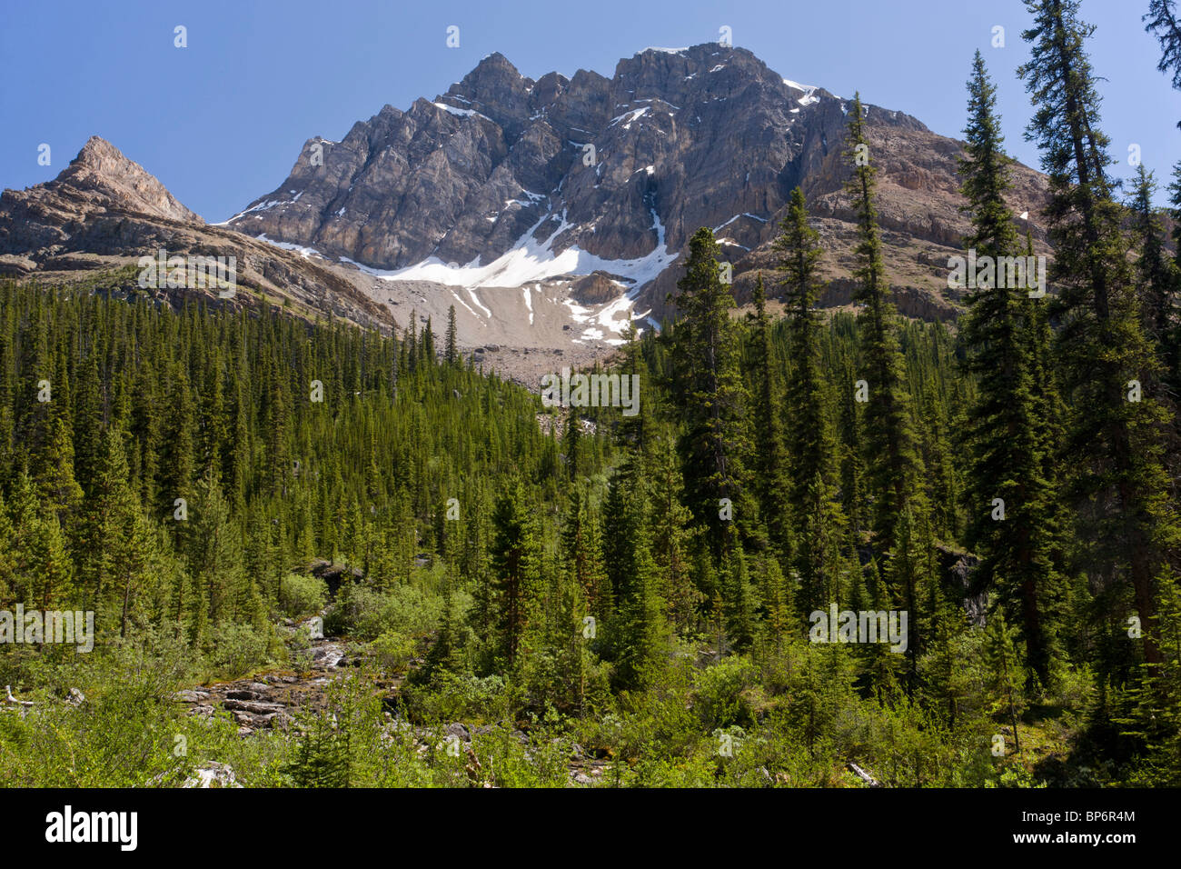 Mixed coniferous forest in Mosquito Creek, below Molar Pass, Banff National Park, the Rockies, Canada - Stock Image