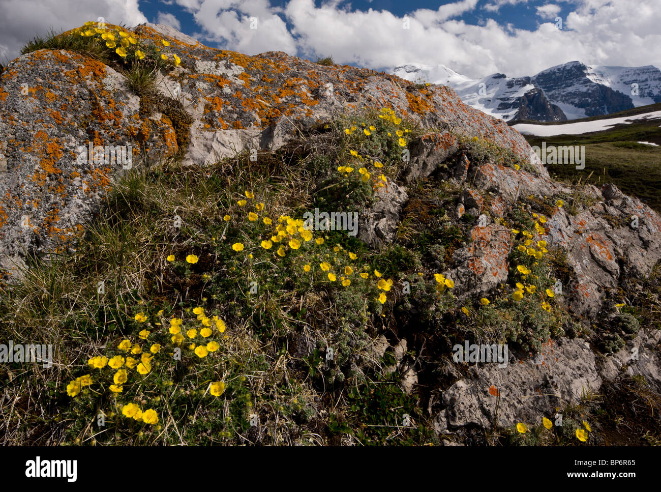 Snow-Cinquefoil, Potentilla nivea growing abundantly at high altitude, Wilcox Pass, Jasper NP, Rockies, Canada Stock Photo