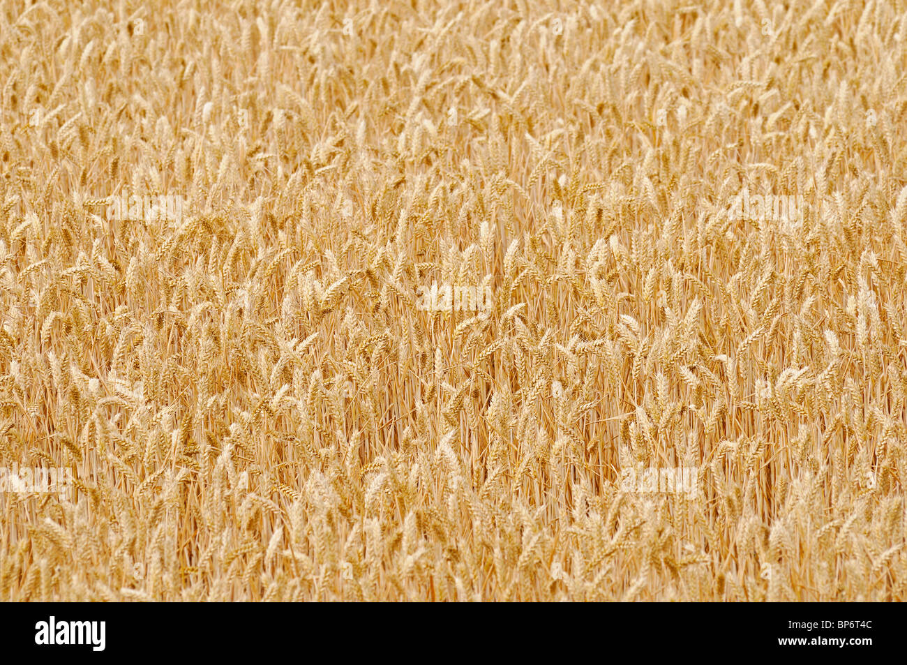 Wheatfield - Stock Image