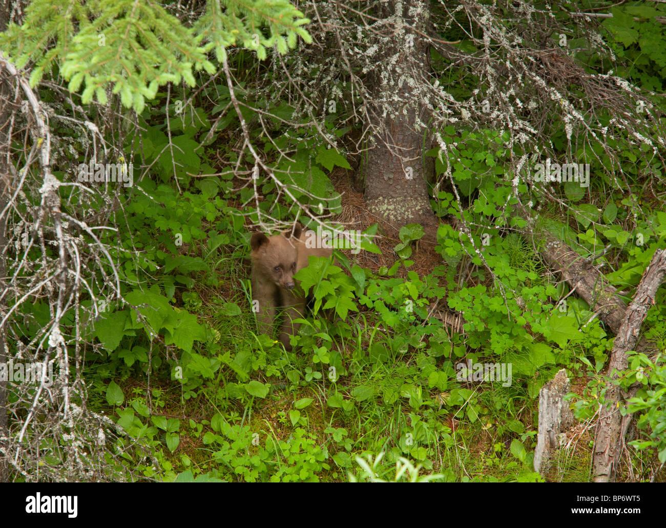 Grizzly Bear, Ursus arctos horribilis, cub in woodland; Waterton NP, Rockies, Canada - Stock Image
