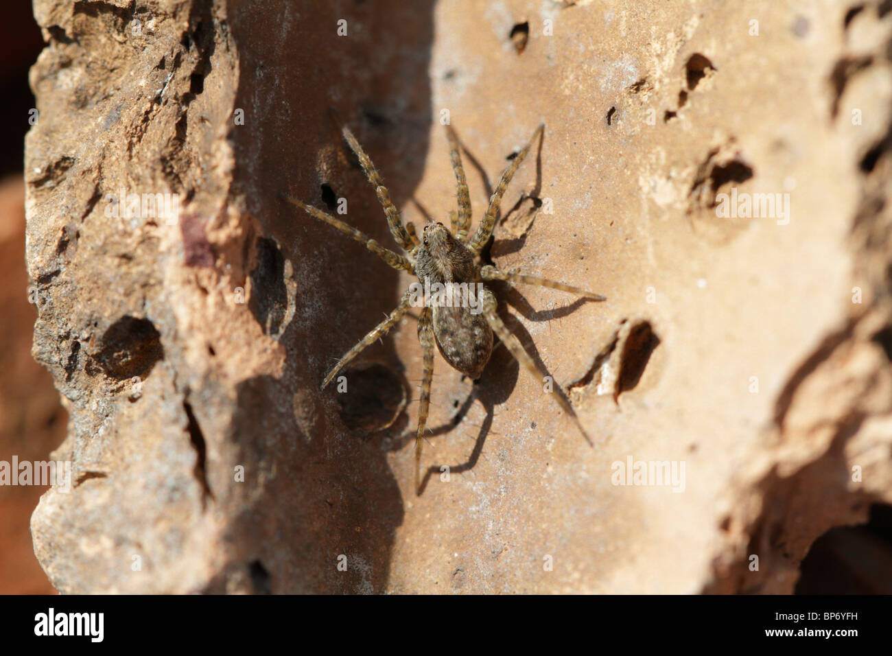 Pardosa amentata, a wolf spider, living  in a disused clay quarry. - Stock Image
