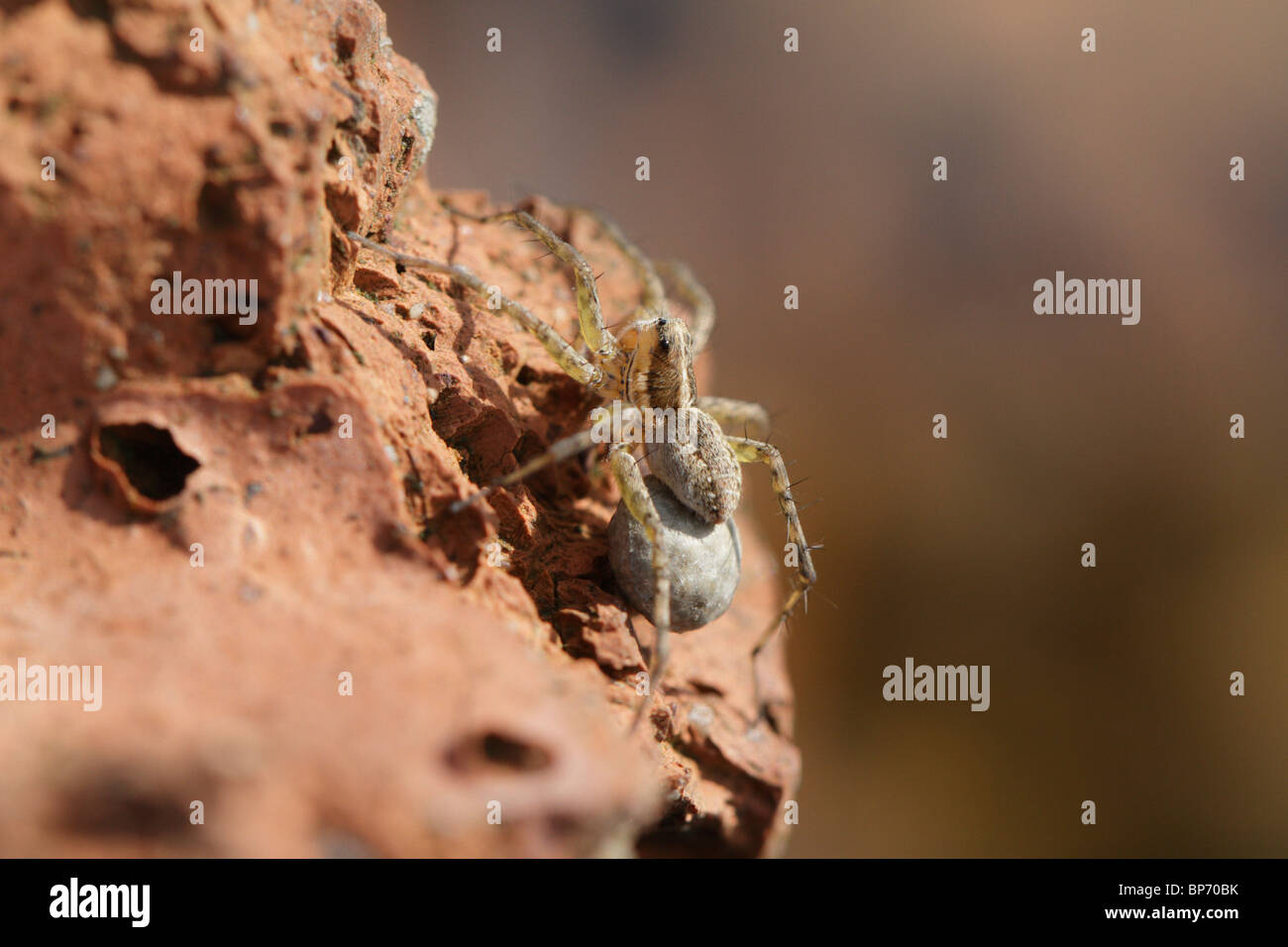 Pardosa amentata, a wolf spider, with her eggs attached to her abdomen - Stock Image