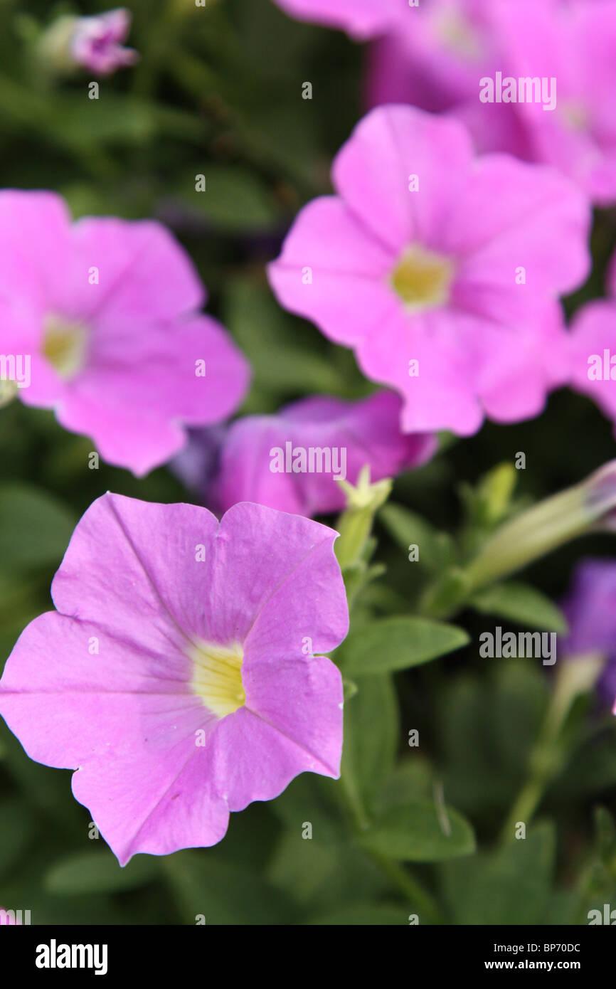 petunia supertunia lavender skies - Stock Image