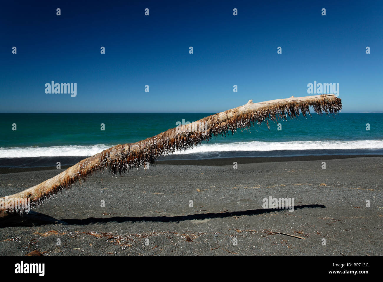 Dead sea shells hanging onto dead seaweed on a large piece of driftwood on Napier Beach, New Zealand - Stock Image