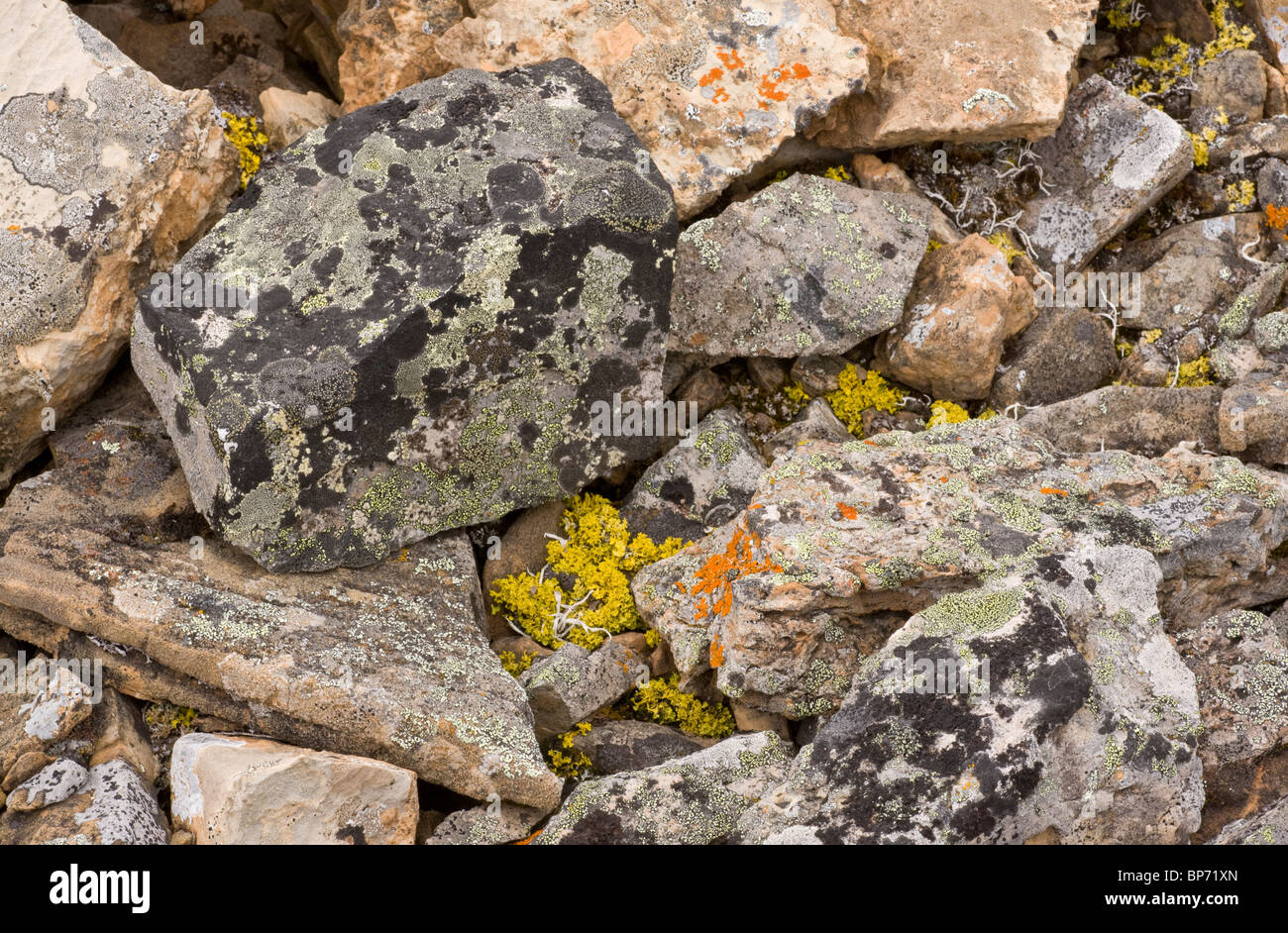 Lichens on high-altitude scree in the canadian rockies. Banff. - Stock Image