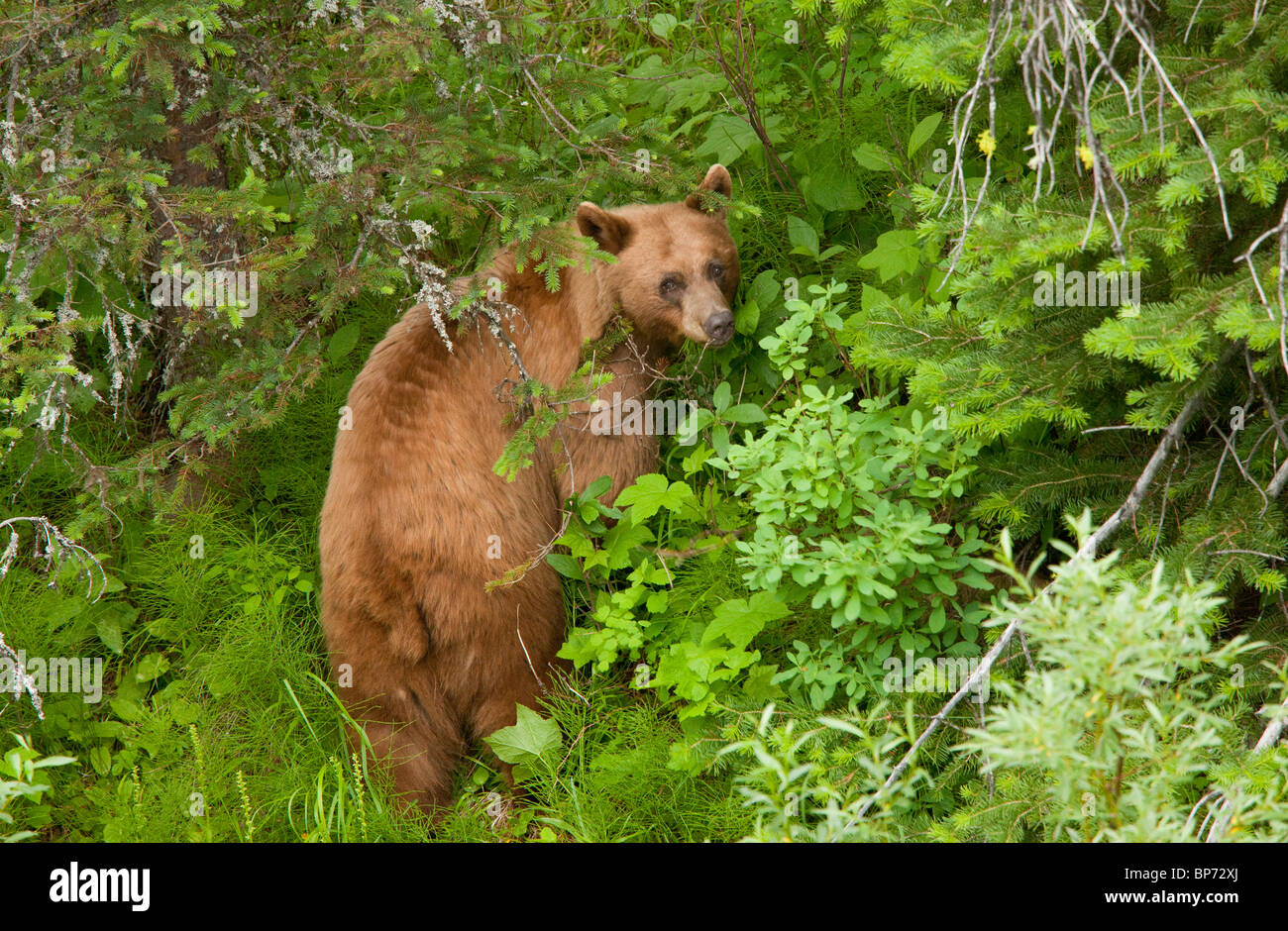 Grizzly Bear, Ursus arctos horribilis, female in woodland, Waterton NP, Rockies, Canada - Stock Image