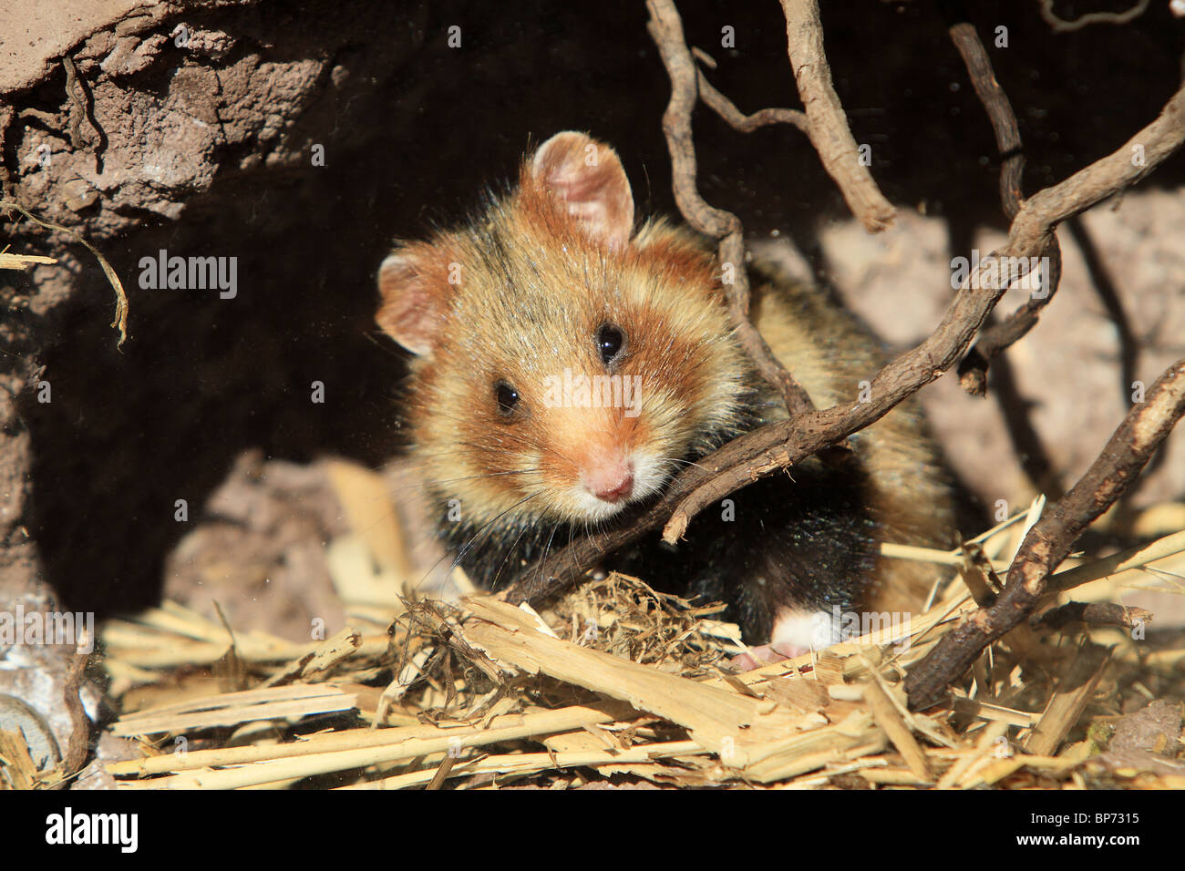 European Hamster, Black-bellied Hamster, Common Hamster (Cricetus cricetus) in its den. - Stock Image