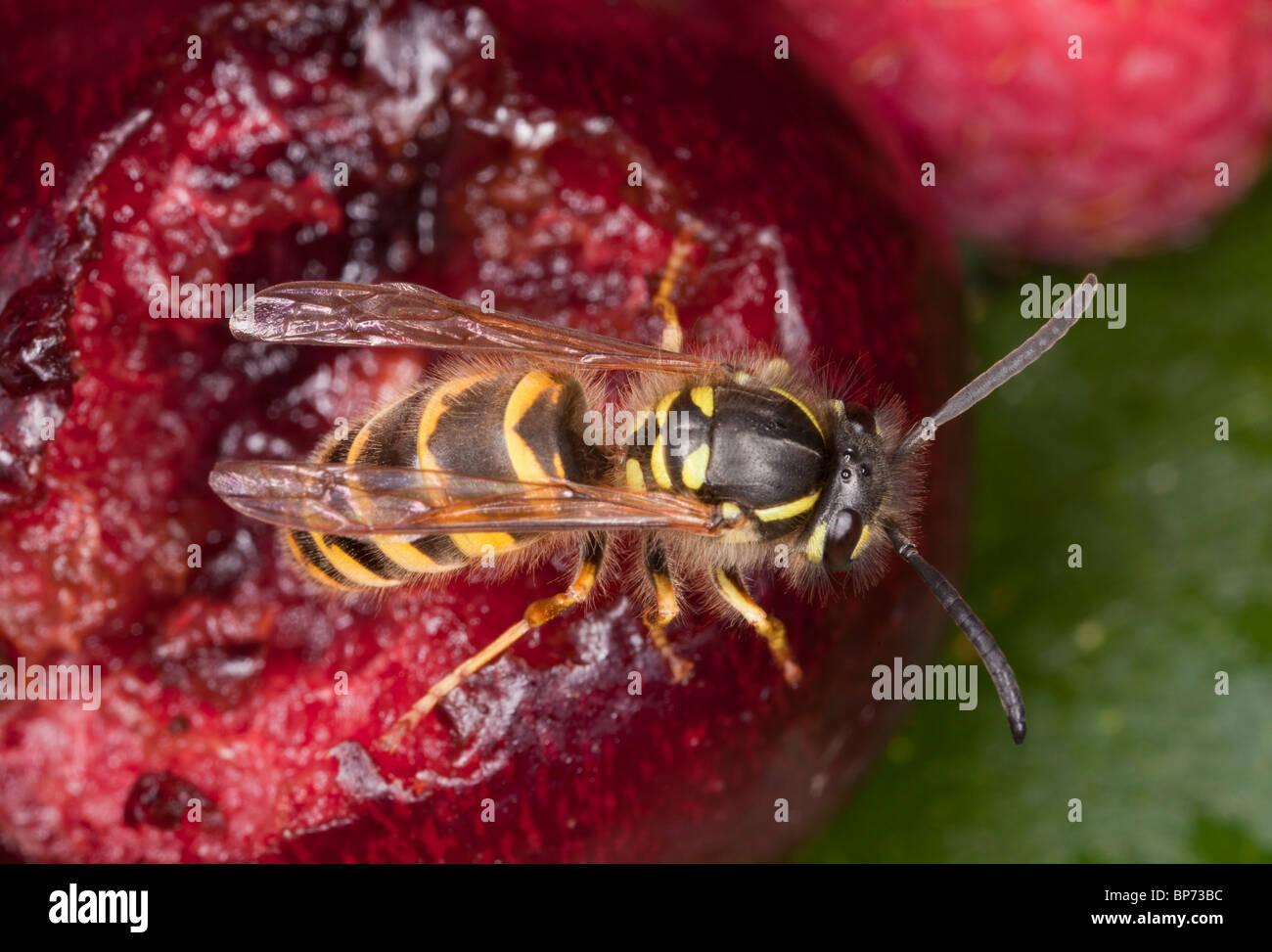 Common Wasp, Vespula vulgaris, feeding on fallen fruit, early autumn. Dorset. - Stock Image