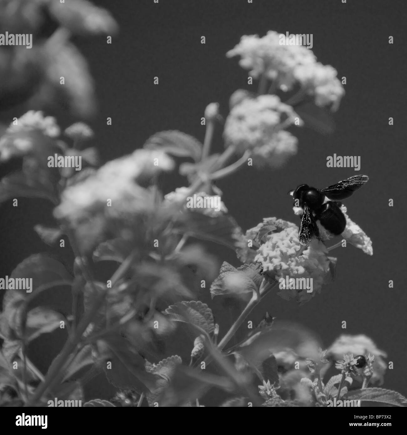 Carpenter Bee (Black Bee) collecting nectar from a flower. - Stock Image