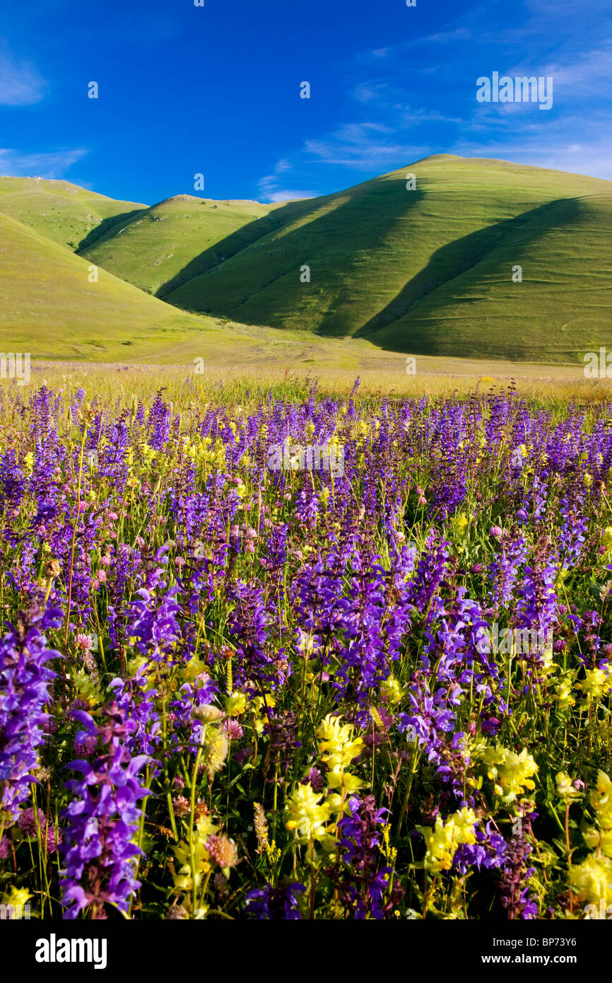 Acres of wildflowers in the Piano Grande near Castelluccio, part of the Monti Sibillini National Park, Umbria Italy - Stock Image