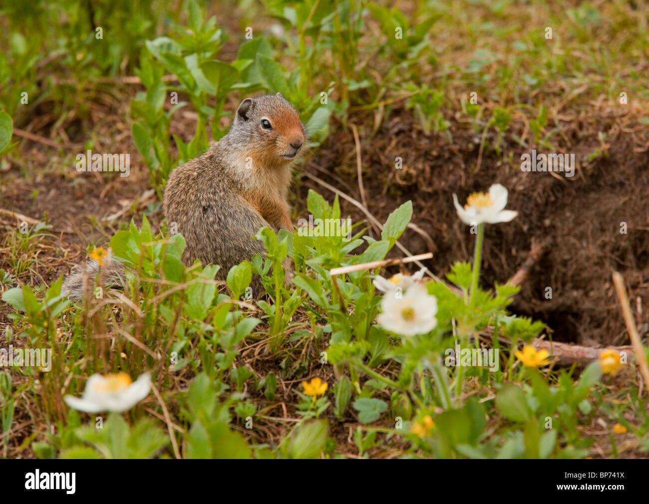 Columbian ground squirrel, Urocitellus columbianus, Rockies, Canada Stock Photo