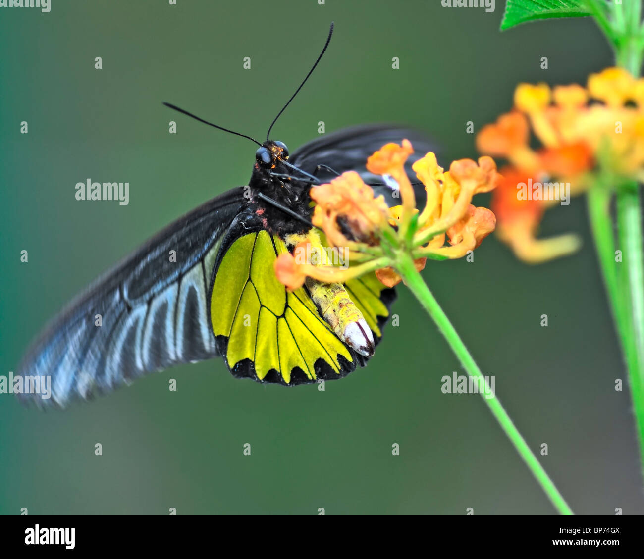 Common Birdwing Butterfly feeding on flowers - Troides Helena - Stock Image