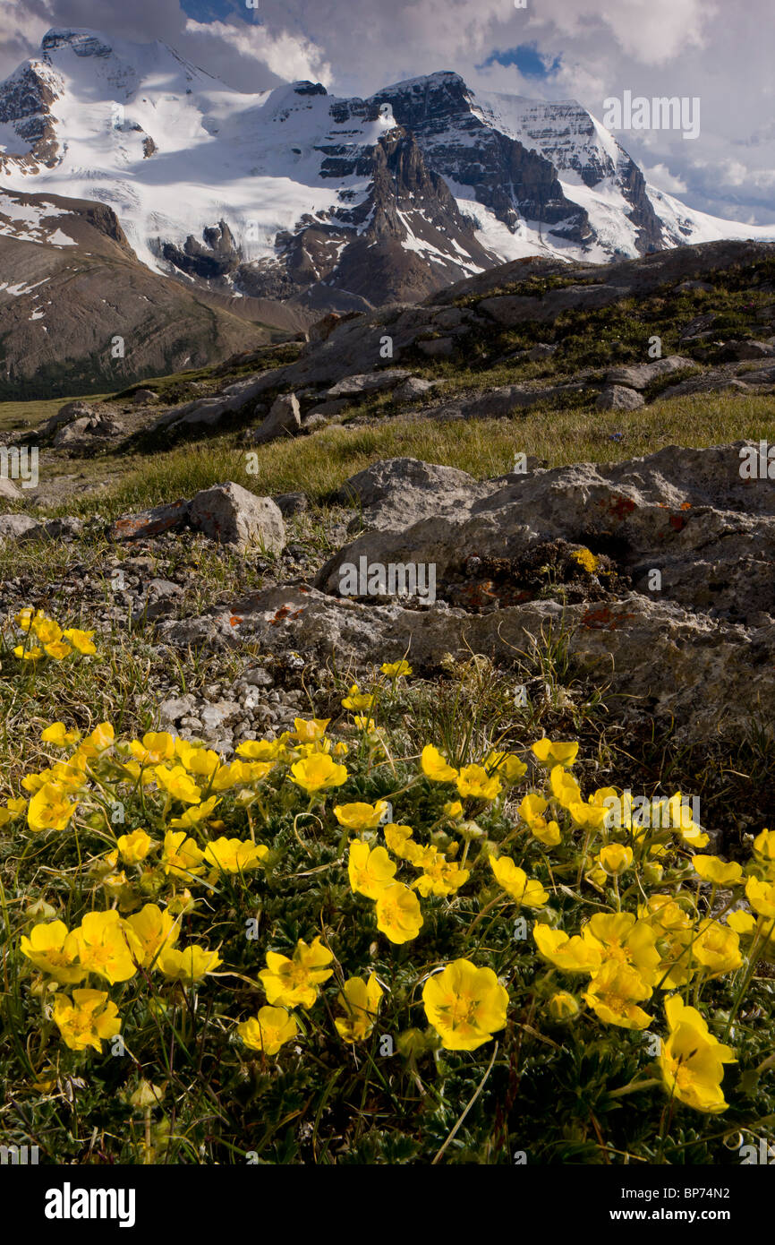 Snow-Cinquefoil, Potentilla nivea growing abundantly at high altitude, Wilcox Pass, Jasper NP, Rockies, Canada - Stock Image