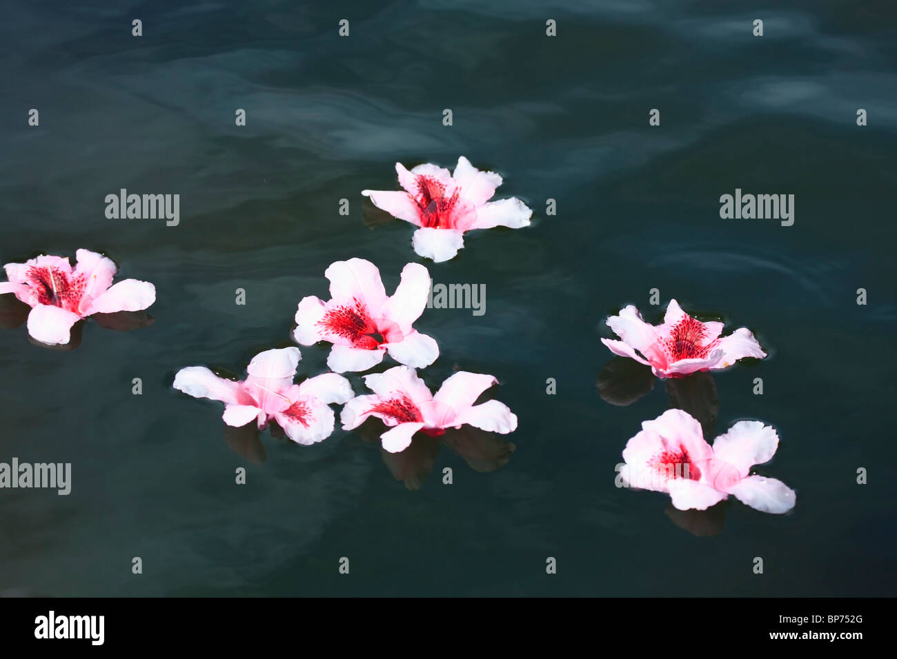 Portland, Oregon, United States Of America; Rhododendron Flowers Floating In Water At Crystal Springs Rhododendron - Stock Image