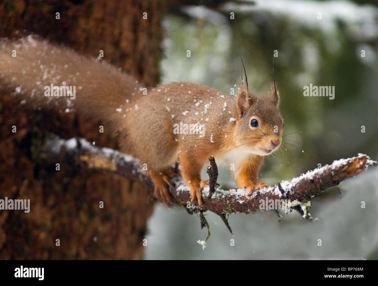 red squirrel in conifer forest during the snow,Ireland - Stock Image