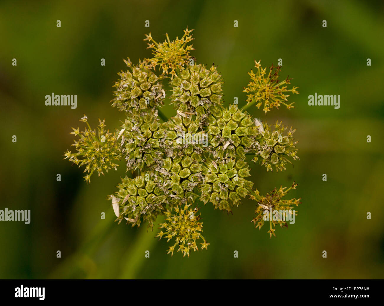 Corky-fruited water dropwort, Oenanthe pimpinelloides in fruit. Dorset. - Stock Image