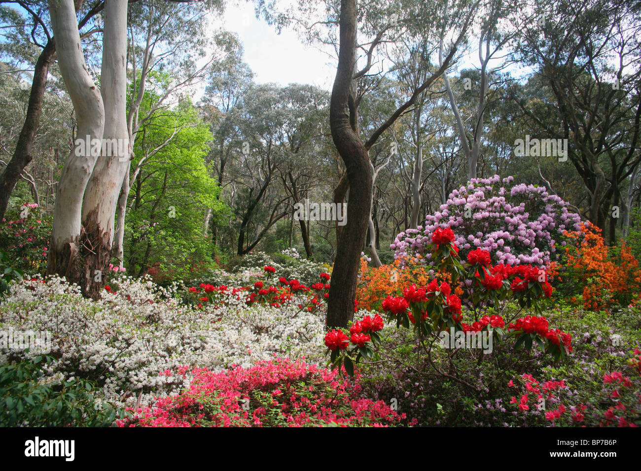 Spring flowers amid the australian bush in blackheath rhododendron spring flowers amid the australian bush in blackheath rhododendron gardens in the blue mountains of nsw mightylinksfo