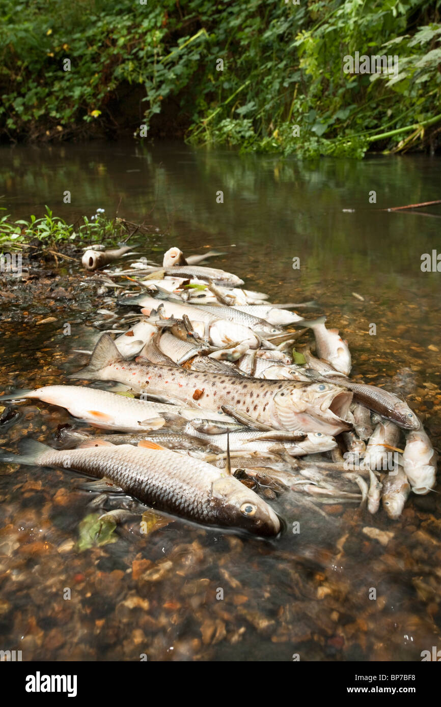Dead fish on the Silchester Brook in Hampshire, Uk following the pollution by sewage released by a water treatment - Stock Image
