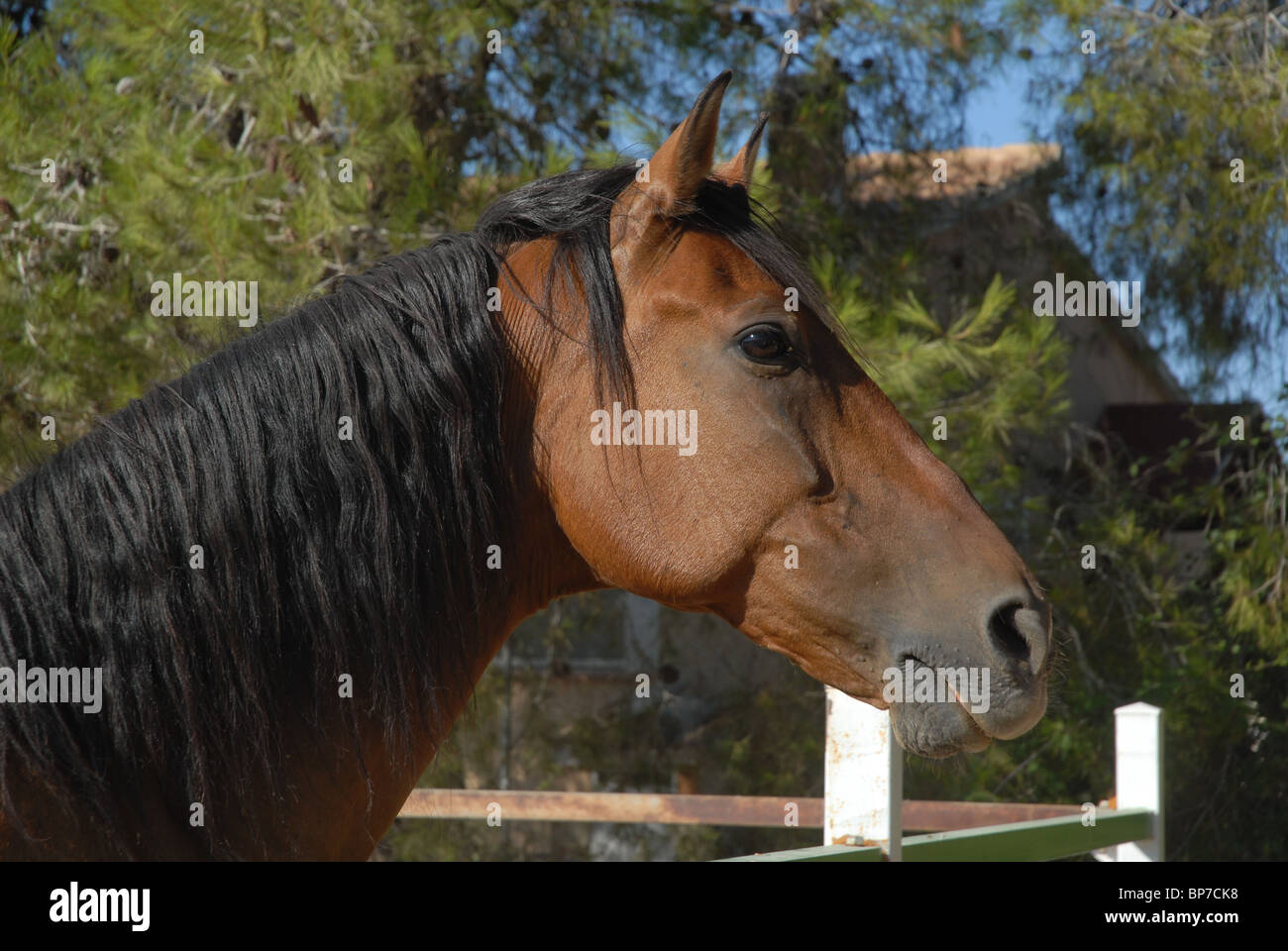 Bay Horse in paddock, La Sella, Denia, Alicante Spain - Stock Image