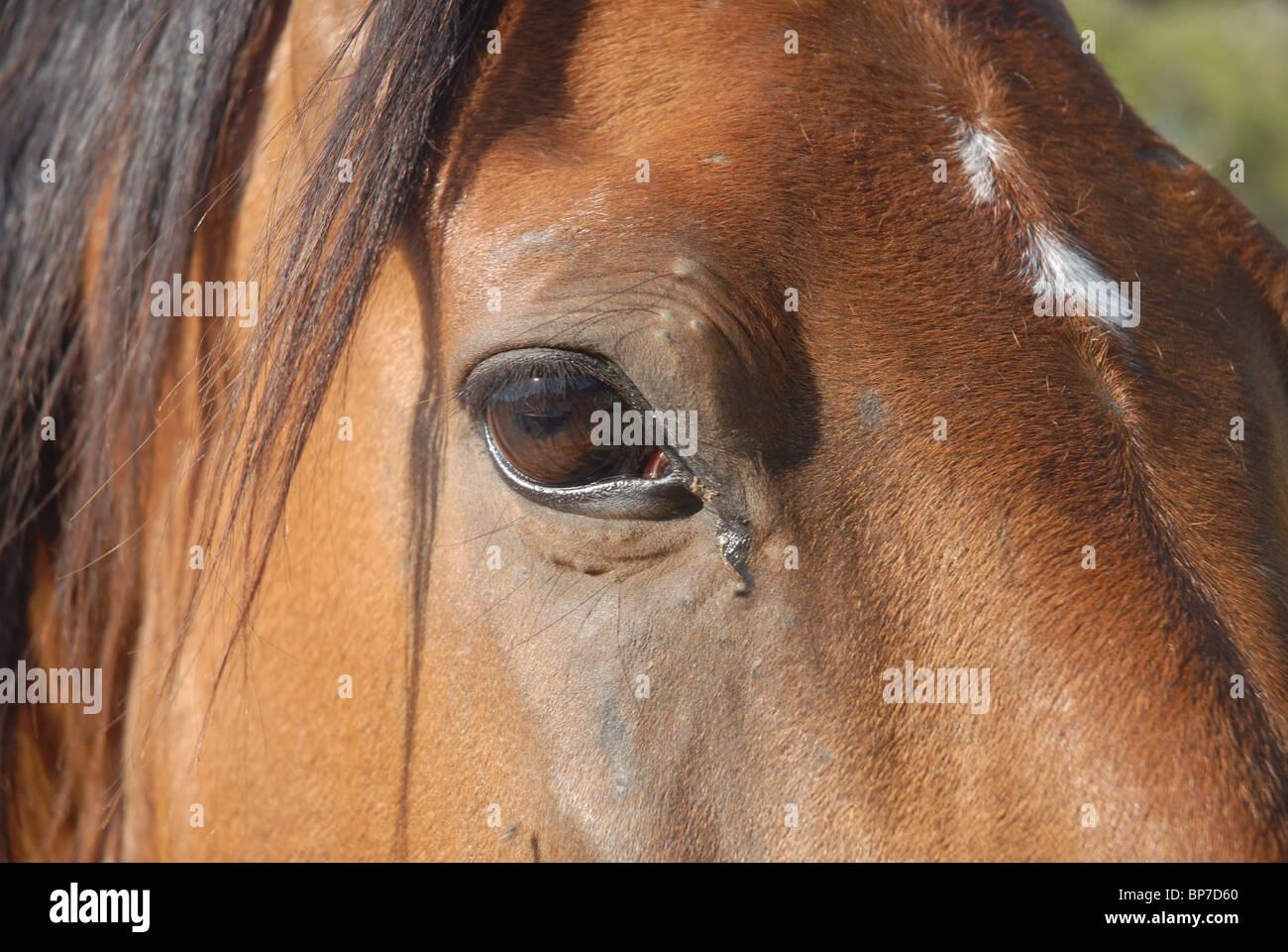 Bay Horse with star, La Sella, Denia, Alicante Spain - Stock Image