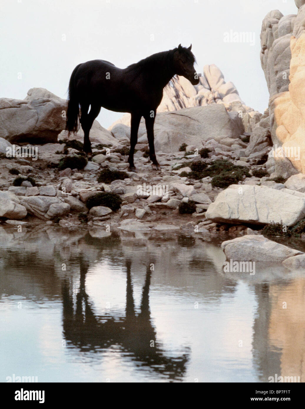 BLACK HORSE & WATER THE BLACK STALLION (1979) - Stock Image