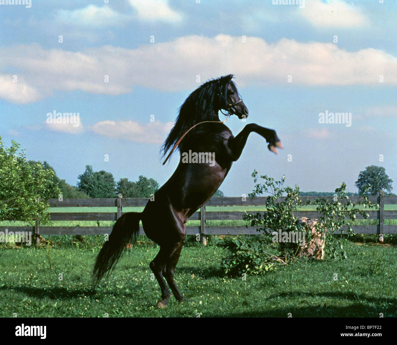 BLACK HORSE ON HIND LEGS THE BLACK STALLION (1979) - Stock Image