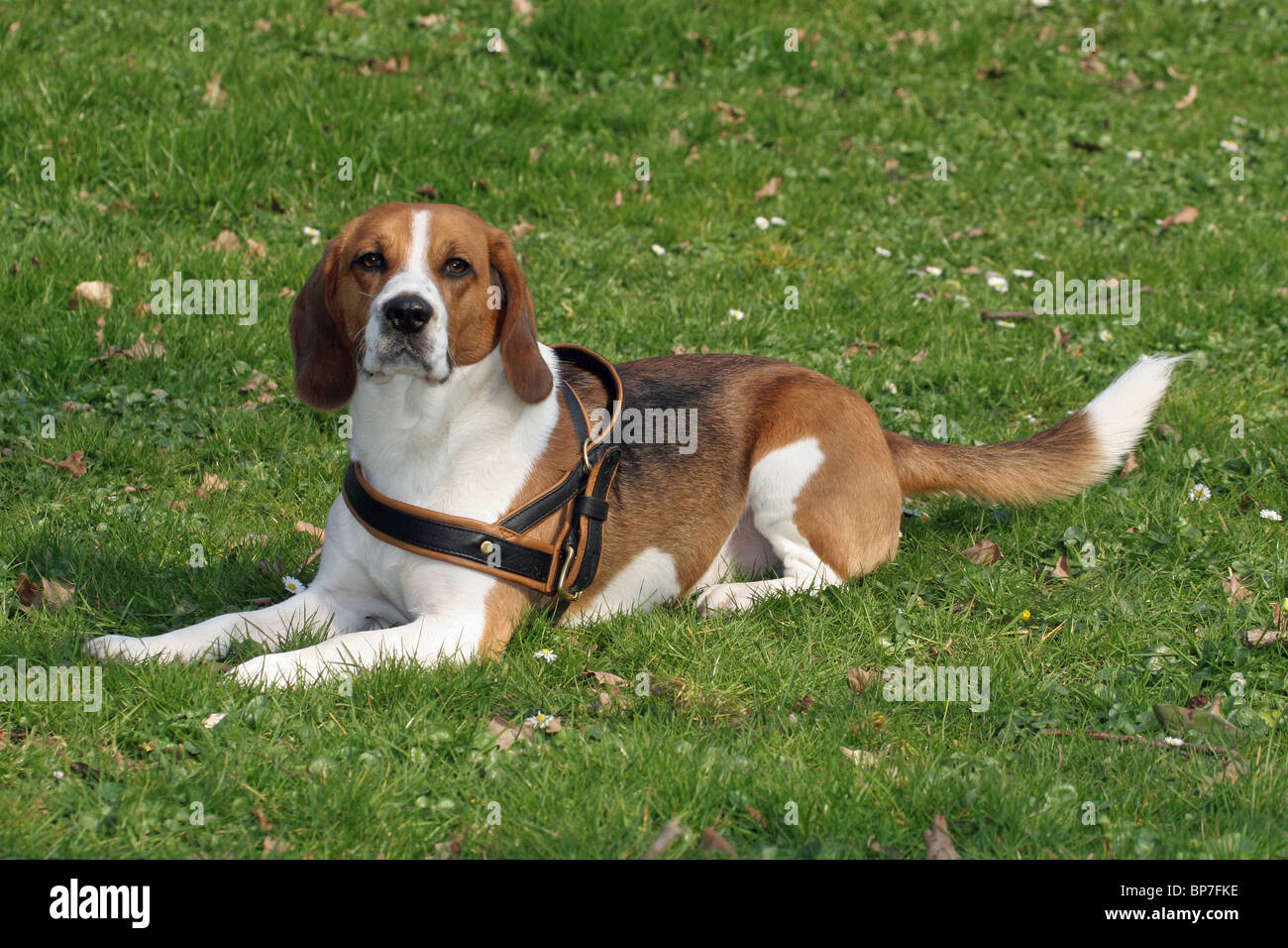 Beagle (Canis lupus familiaris) wearing a harness while lying on a lawn in an urban park. - Stock Image