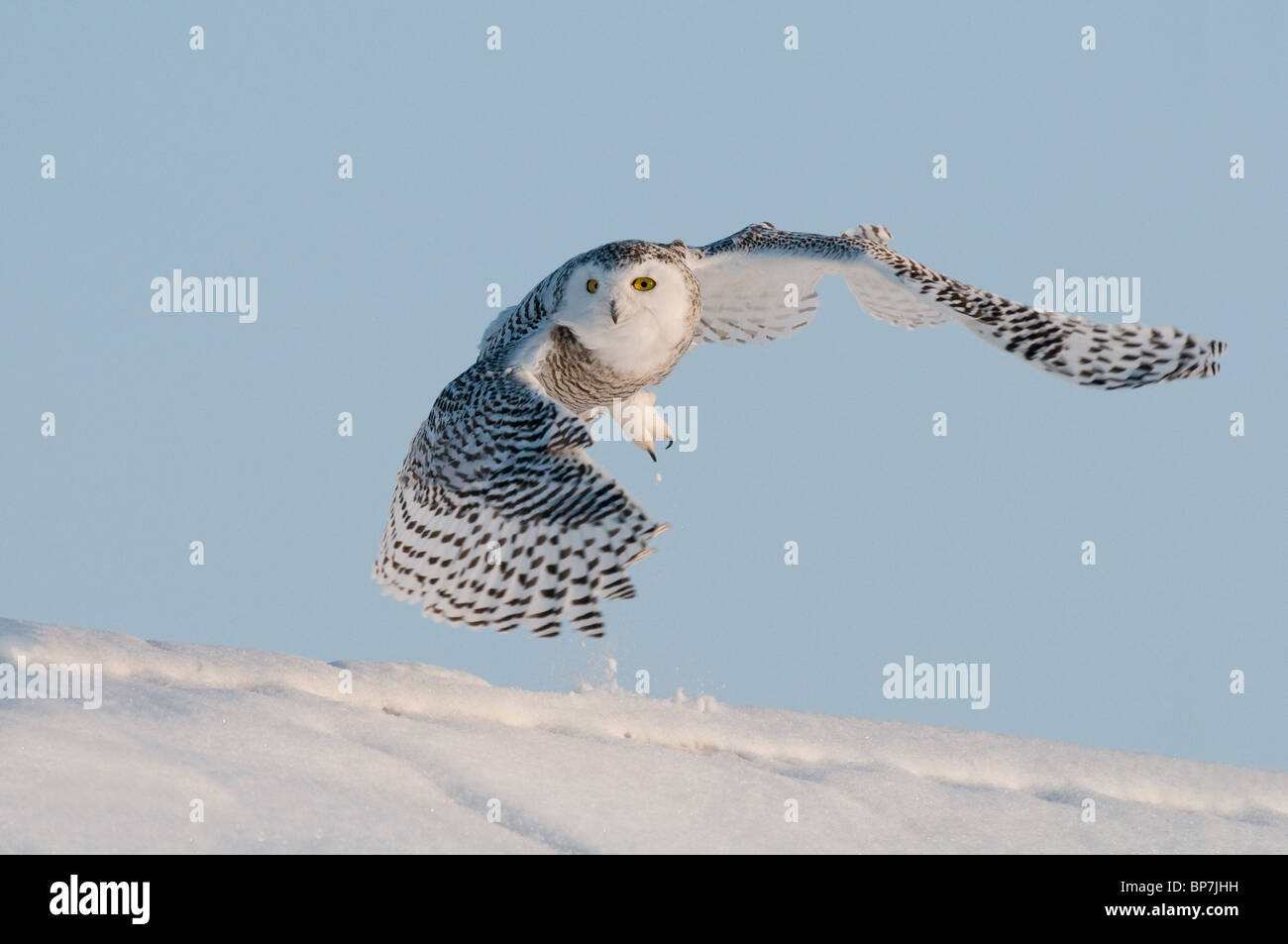 Snowy Owl (Bubo scandiacus, Nyctea scandiaca) in flight above snow. Stock Photo