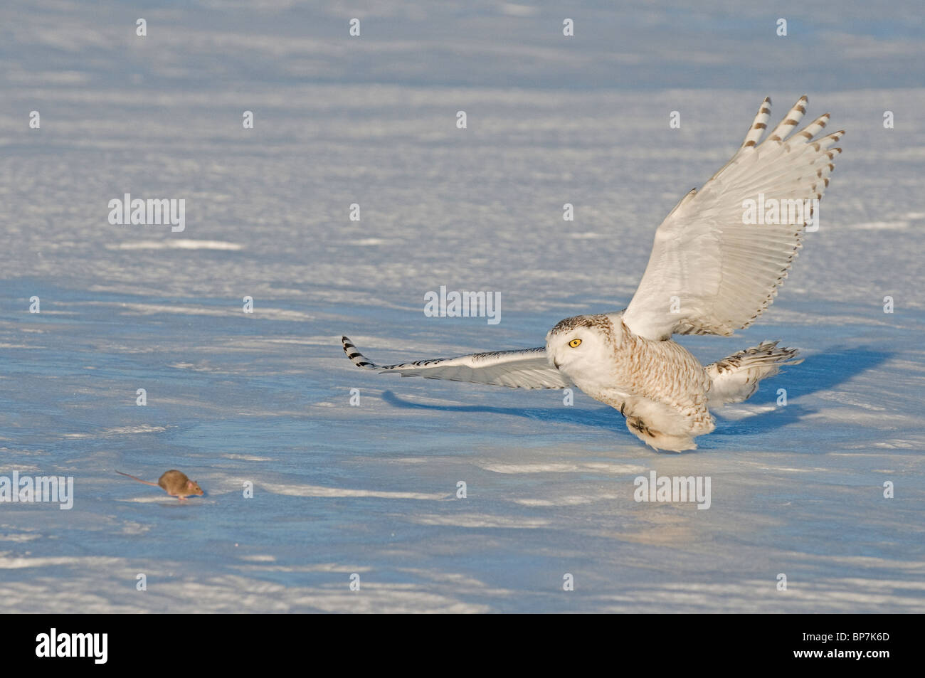 Snowy Owl (Bubo scandiacus, Nyctea scandiaca), adult about to catch a mouse. - Stock Image