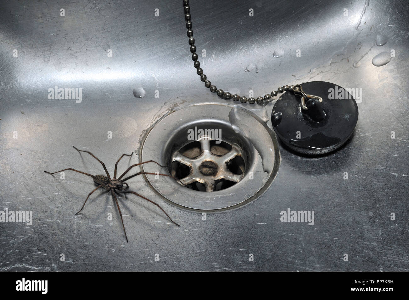 European common house spider (Eratigena atrica / Tegenaria atrica) in kitchen sink next to plug-hole - Stock Image