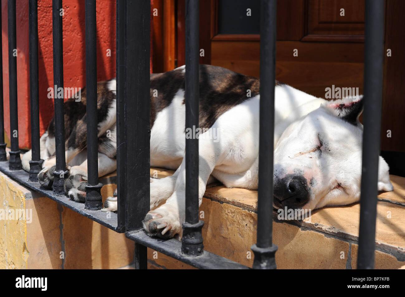 Dog fast asleep in the sun on open window ledge in house. Oaxaca, Mexico. - Stock Image