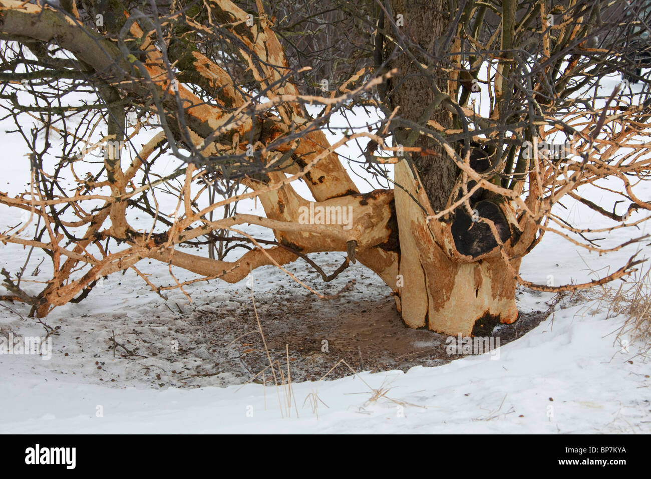 Fruit tree damaged by rabbits (Oryctolagus cuniculus) and other rodents by eating the bark in winter - Stock Image