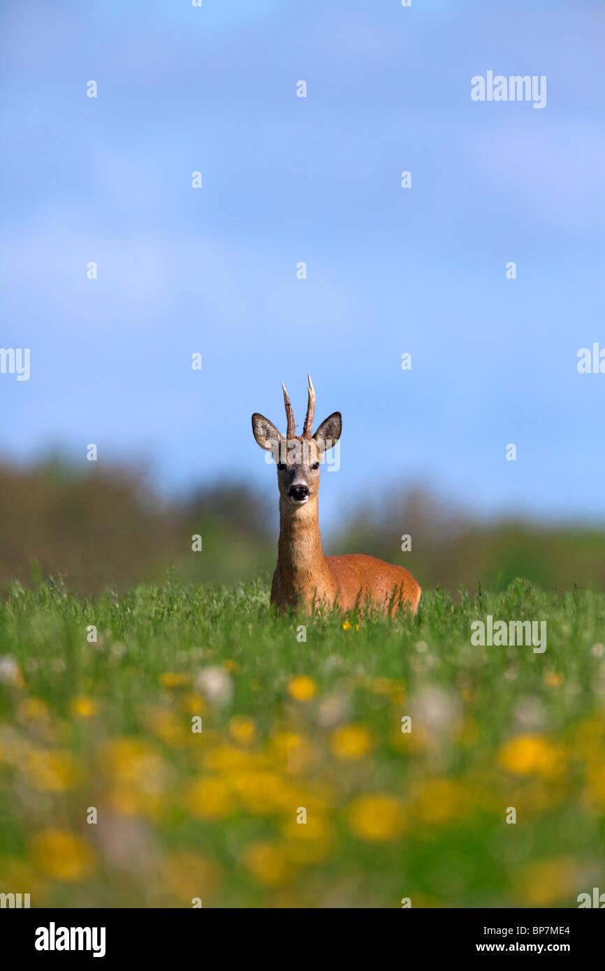 Roe Deer buck (Capreolus capreolus) in meadow in spring, Germany - Stock Image