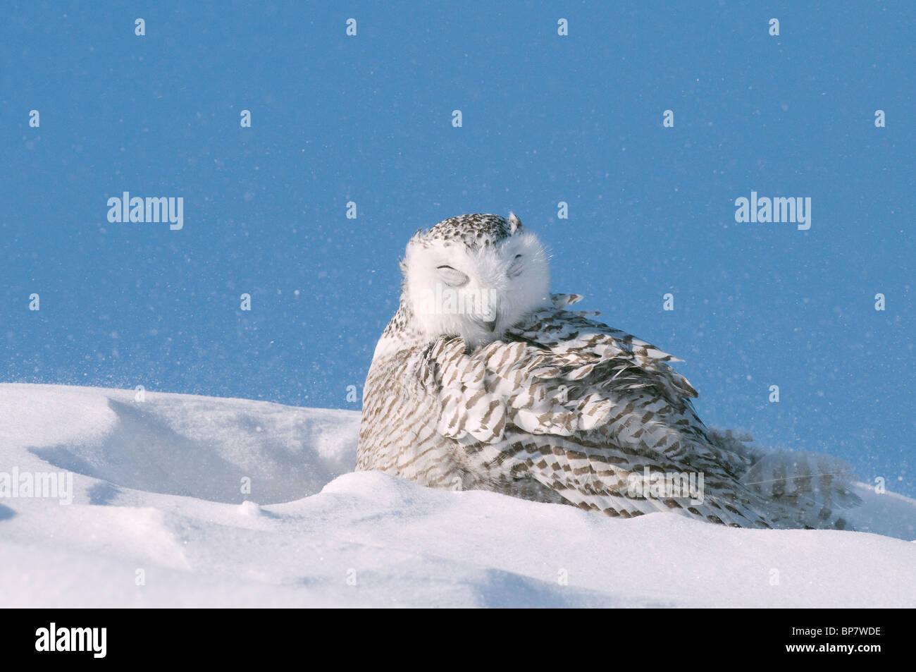 Snowy Owl (Bubo scandiacus, Nyctea scandiaca) resting in snow with eyes closed. - Stock Image