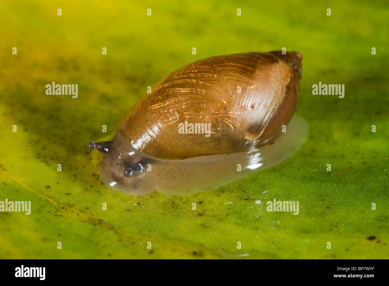 A small amphibious snail, Succinea pfeifferi, Arthog Bog, North Wales Stock Photo