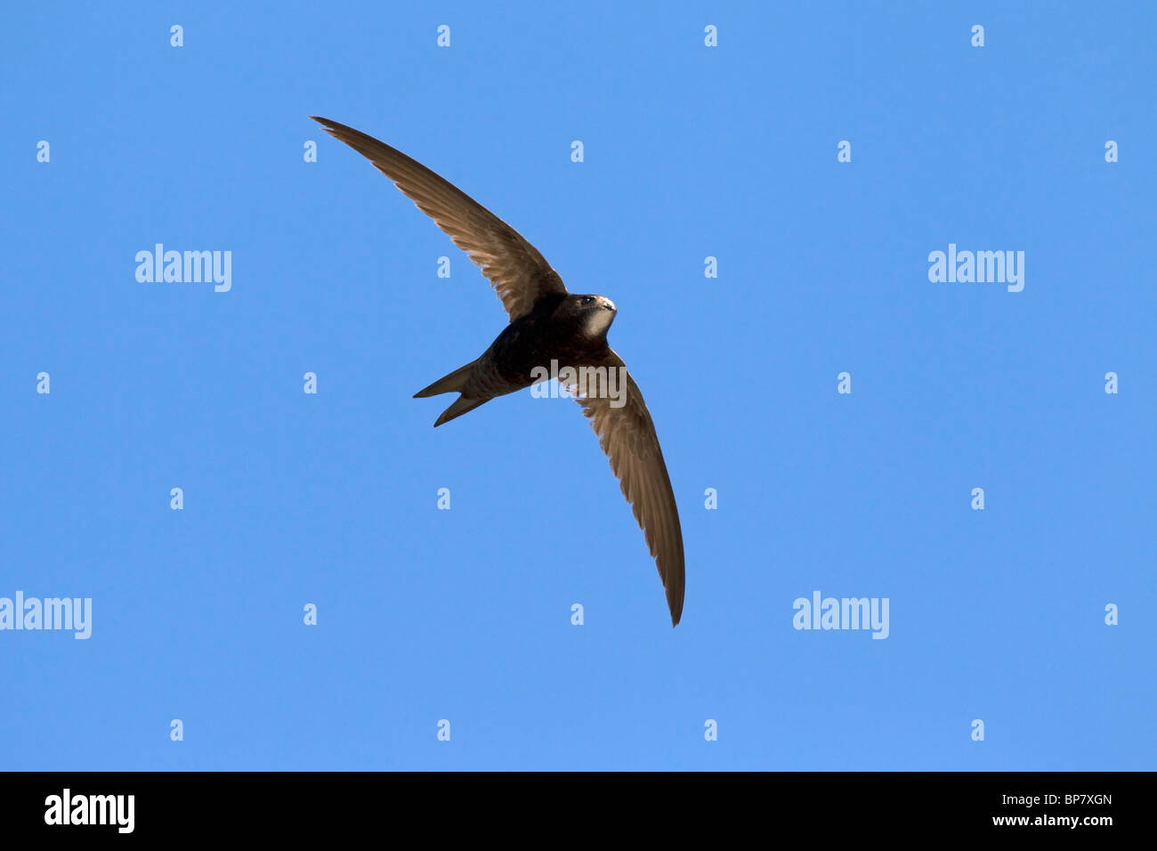 Common swift (Apus apus) in flight against blue sky - Stock Image