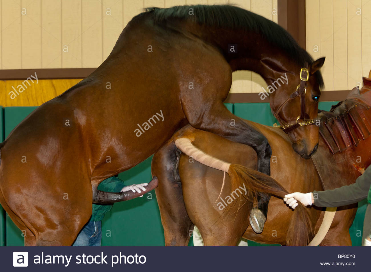 Breeding thoroughbreds, Winstar Farm, Versailles (near Lexington), Kentucky USA - Stock Image
