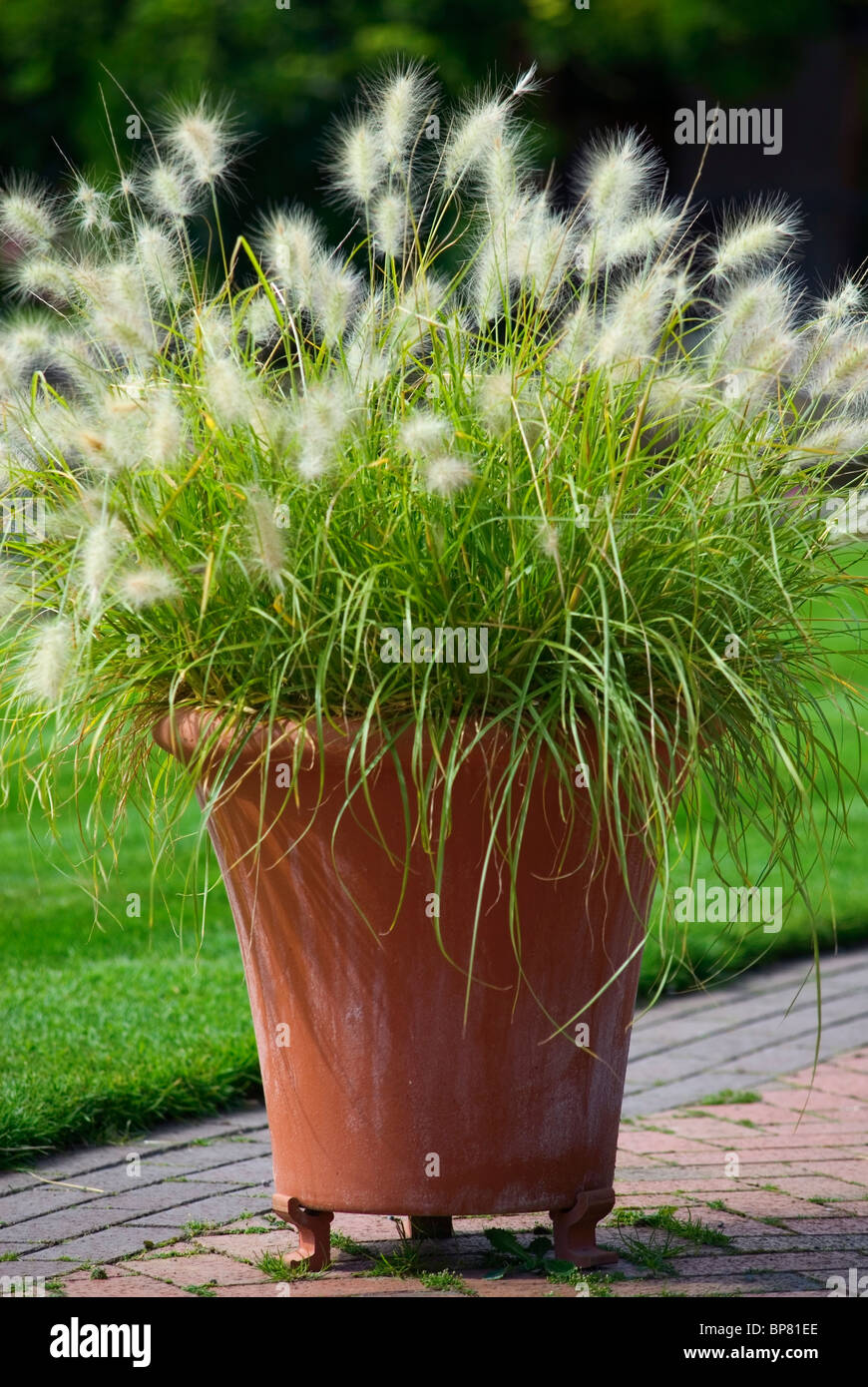 pennisetum villosum feather top growing in clay pot stock. Black Bedroom Furniture Sets. Home Design Ideas