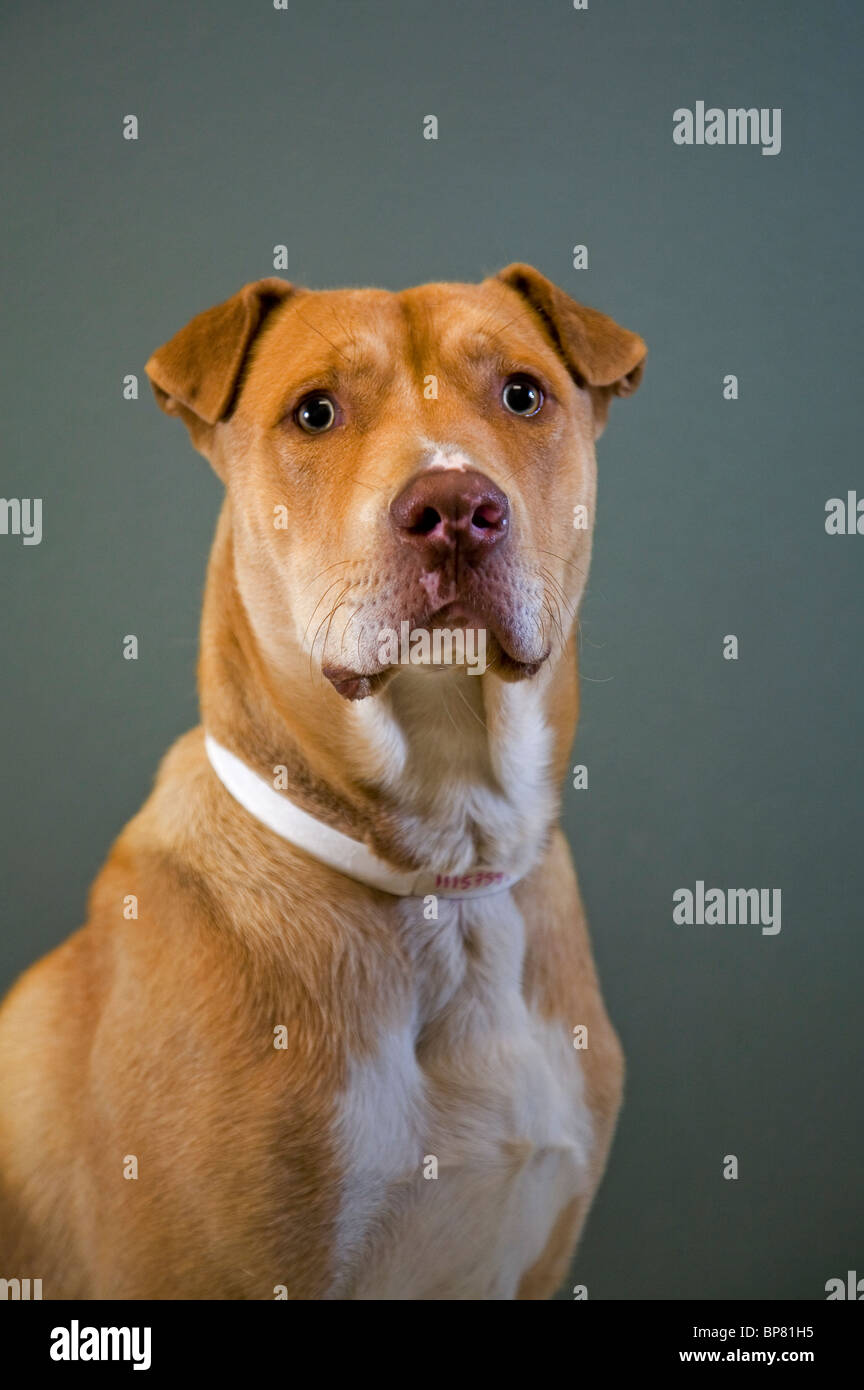 Portrait of a pit bull cross dog - Stock Image