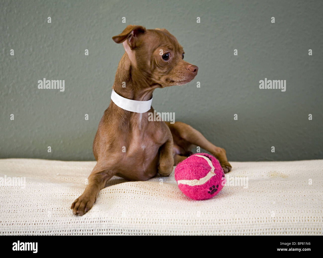 Portrait of a Mexican hairless chihuahua dog playing with a tennis ball. the dog is up for adoption from a Humane - Stock Image