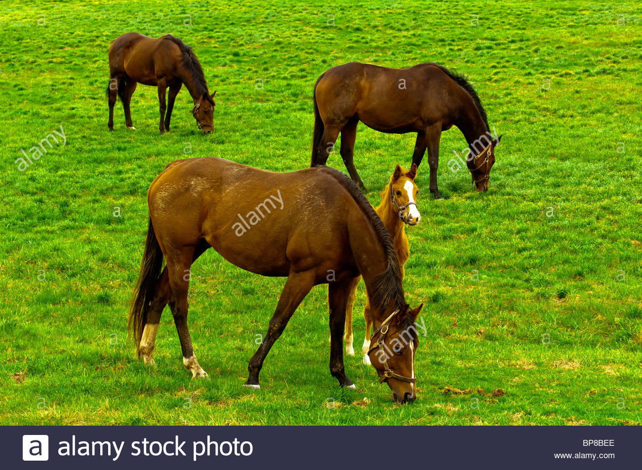 Thoroughbred horses and foals, Woodford Thoroughbreds, Versailles (near Lexington), Kentucky USA, - Stock Image