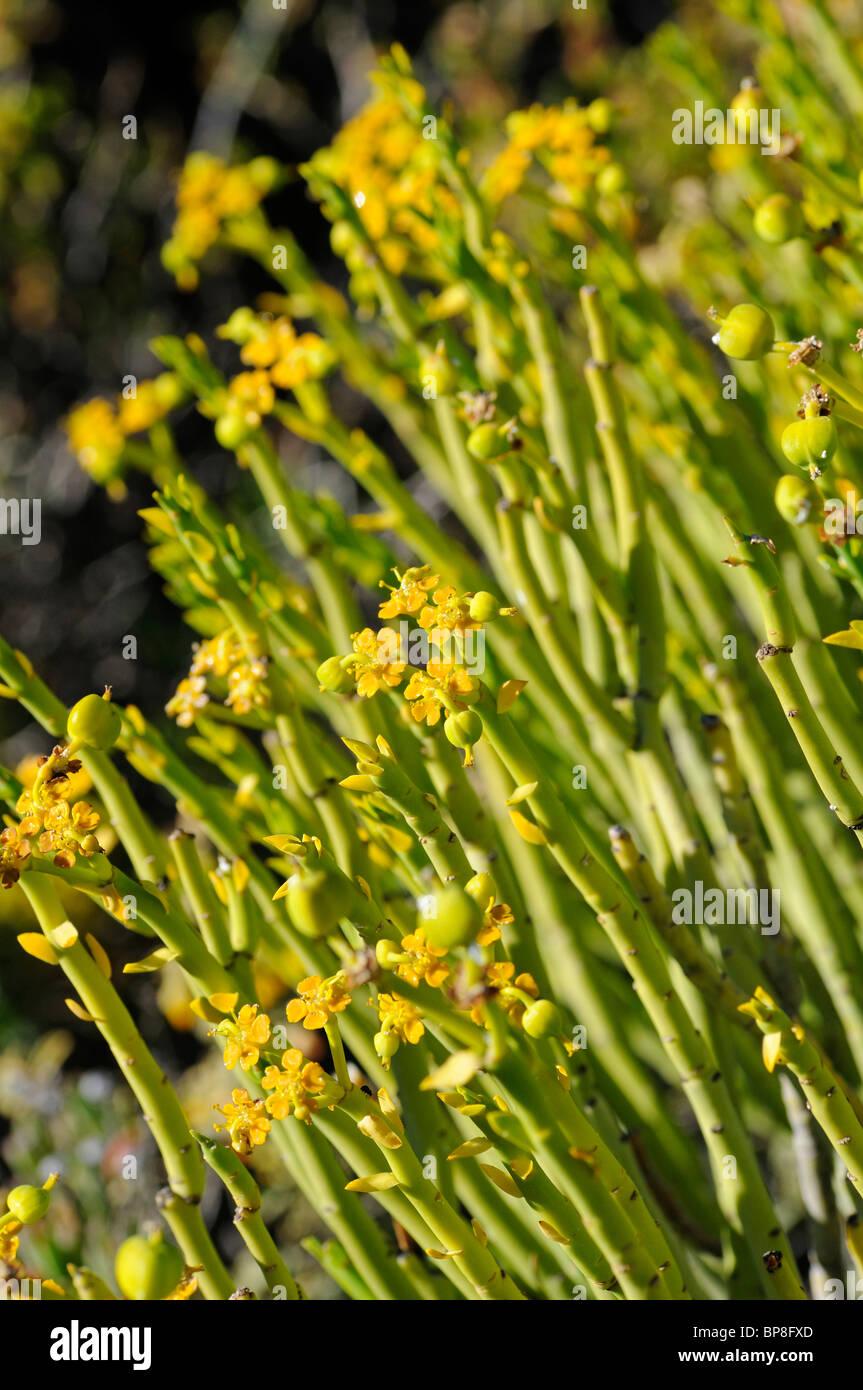 Euphorbia mauretanica, Gifmelkbos, Namaqualand, South Africa Stock Photo