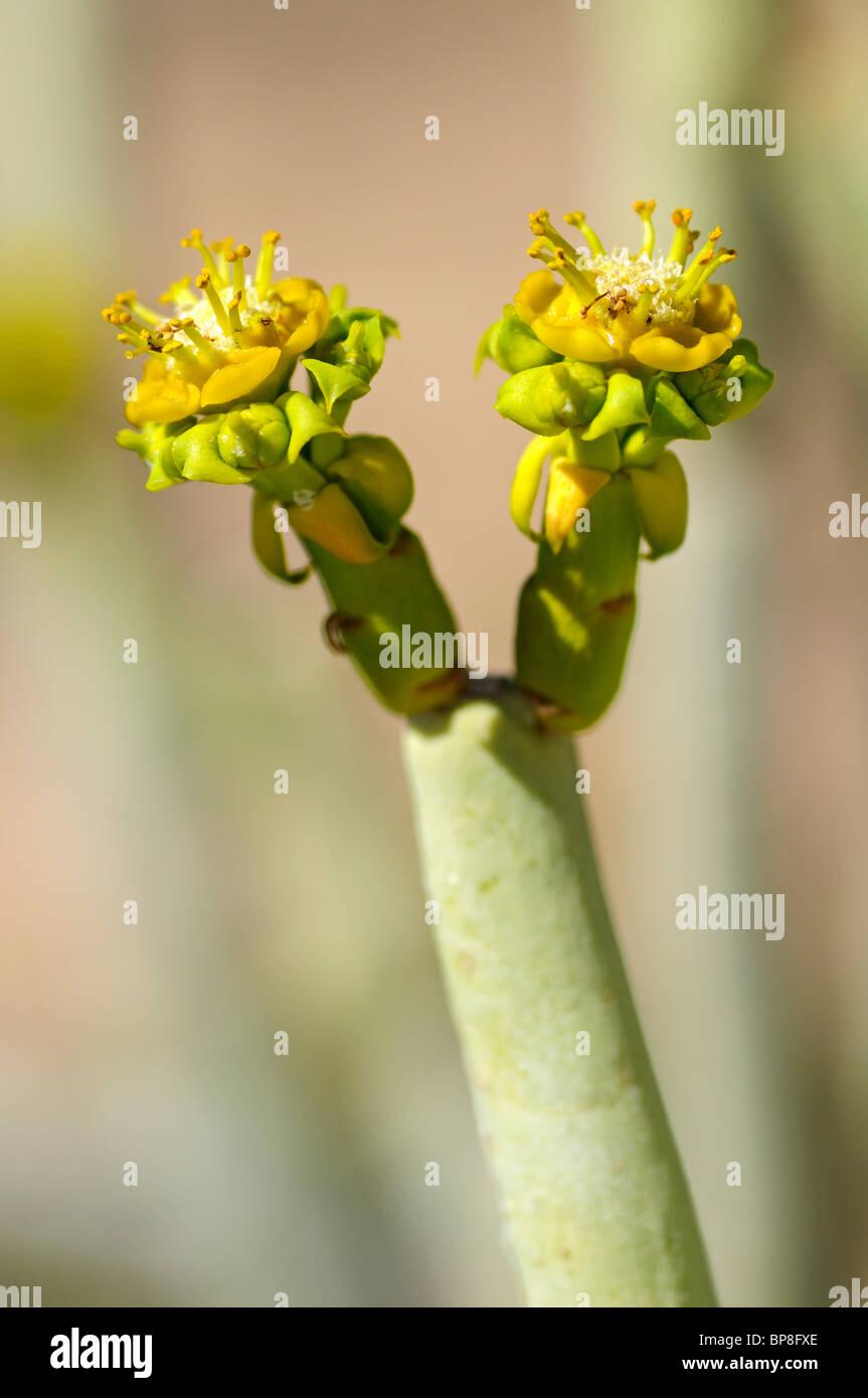 Euphorbia decussata, Gifmelkbos, Namaqualand, South Africa Stock Photo